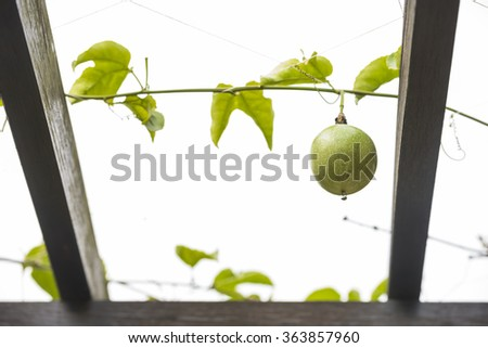 Single green granadilla or passion fruit hanging on a vine between wooden pergola beams against a white background - stock photo
