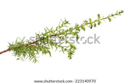 single green  juniper branch isolated on white background
