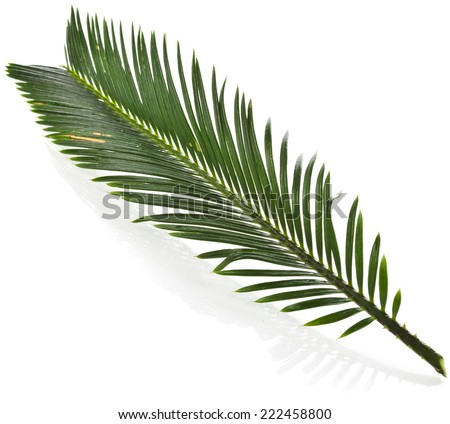 Single Green leaf of palm tree close up isolate on white background - stock photo