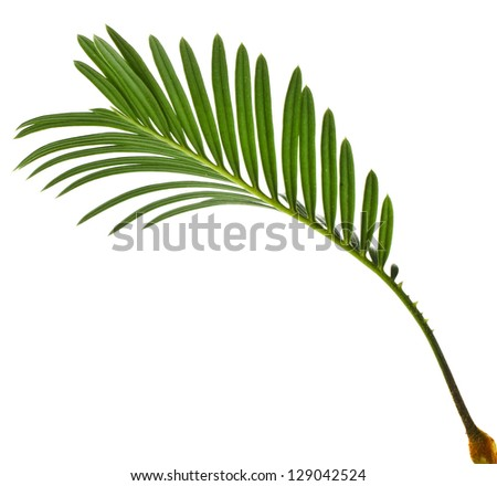 Single Green leaf of palm tree on white background - stock photo