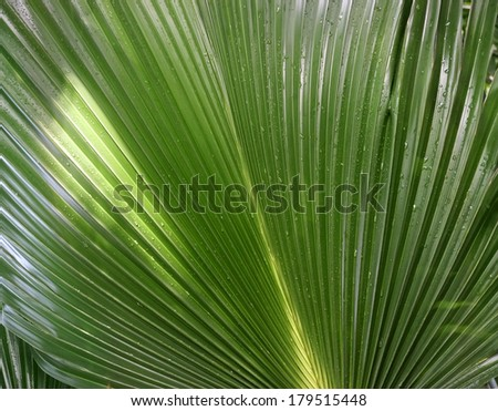 single green palm leaf (Livistona Rotundifolia palm tree) close up surface background  - stock photo