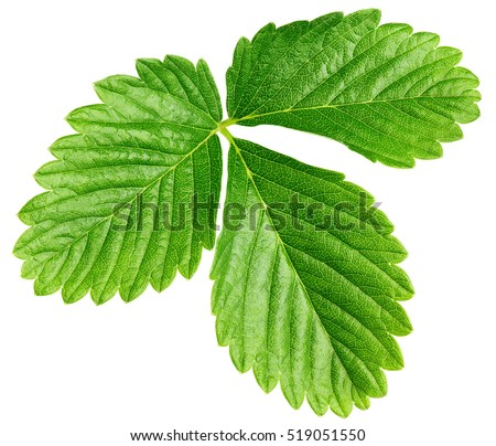 Single green strawberry leaf isolated on white background with clipping path