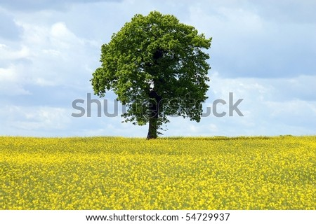 single green Tree in a yellow field with rapeseed - stock photo