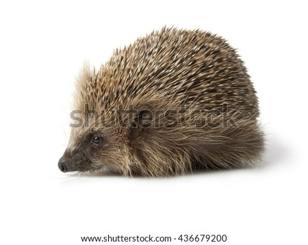 Single hedgehog on white background