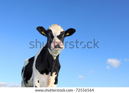 Single Holstein cow against blue sky - stock photo
