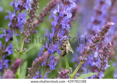single honey bee collecting pollen from organic purple salvia blossom in rural garden - stock photo