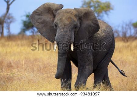 Single hungry elephant  Tarangire National park, Tanzania, Africa. - stock photo