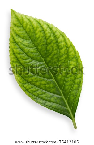 Single isolated leaf on a white background - stock photo