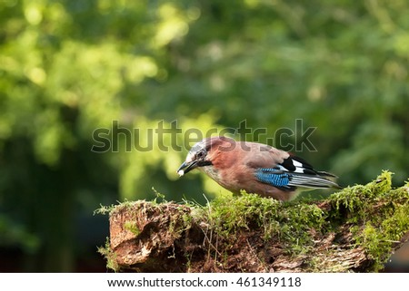 Single Jay bird feeding from a moss covered log in the woods