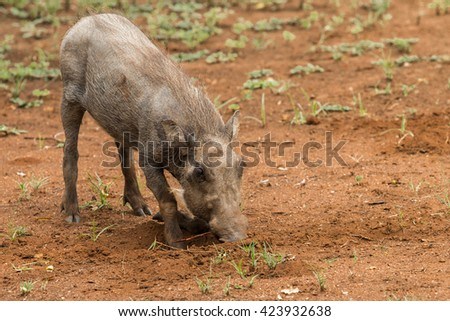 Single kneeling juvenile Warthog (Phacochoerus africanus) pulling at a root in the ground in Pilanesberg, South Africa - stock photo