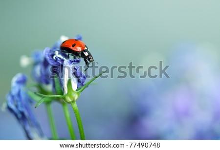 Single Ladybug on violet bellflowers in the garden in spring - stock photo