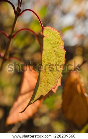 Single leaf dangling from branch with fall color background