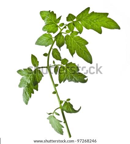 Single leaf tomato isolated on white background - stock photo