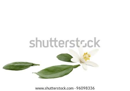 Single lemon white flower with green leaves on white background - stock photo