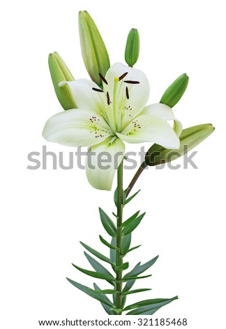 Single lily flower plant isolated on white background - stock photo