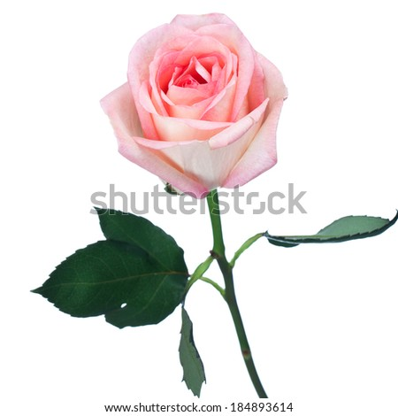 Single long-stemmed perfect pink rose for a loved one or sweetheart on Valentines Day, wedding or anniversary, isolated on white, square format