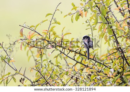 Single Long Tailed Tit (Aegithalos caudatus) perching in a black thorn tree in autumn - stock photo