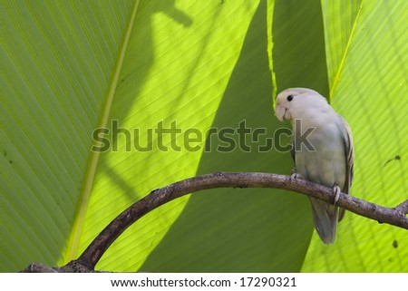 Single lovebird at rest - stock photo