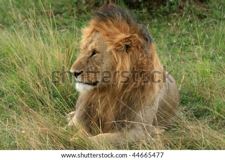 Single male lion lying in wait in Africa - stock photo