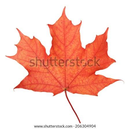 single maple autumn leaf, isolated on white - stock photo
