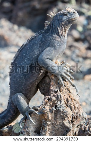 Single marine iguana standing on a rock near the beach of Puerto Villamil on Isla Isabela. Galapagos islands 2015. - stock photo