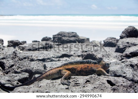 Single marine iguana standing on white beach of Playa de los Alemanes near Puerto Ayora Galapagos islands - stock photo