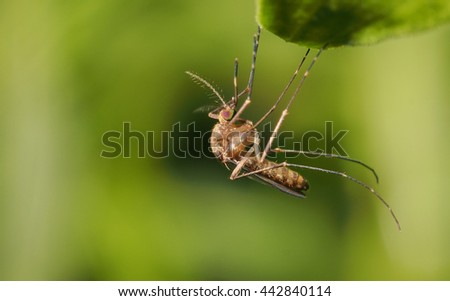 Single mosquito (Mansonia sp.) resting on a green leaf - stock photo