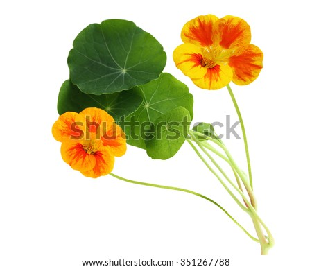 Single Nasturtium flower plant isolated on white background - stock photo