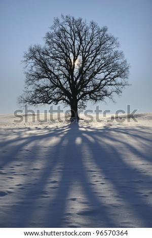 single oak tree in winter - stock photo