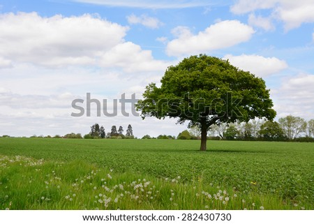 Single oak tree stands in a lush green farm field against a blue spring sky - stock photo
