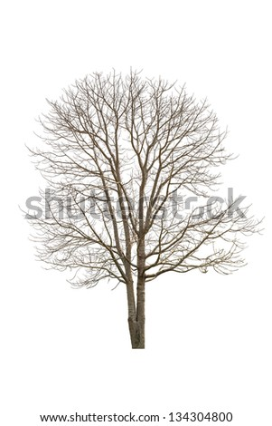 Single old and dead tree, Isolated on white
