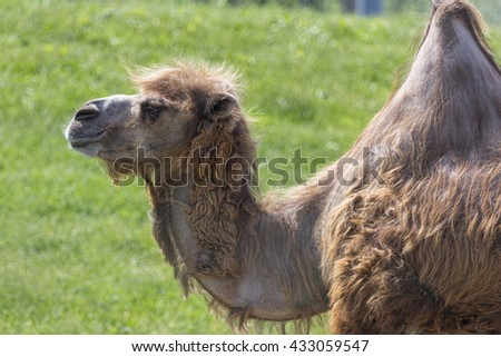 Single one hump camel, side profile.