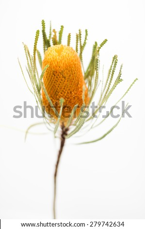 SIngle orange banksia flower - stock photo