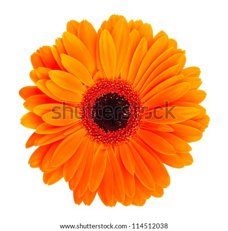 Single orange gerbera flower isolated on white background - stock photo