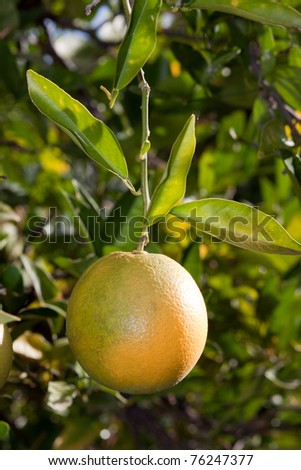 single orange hanging in a tree