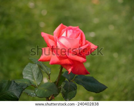 Single orange rose in the garden, the background is natural. - stock photo
