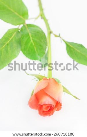 Single orange rose isolated on white background - stock photo