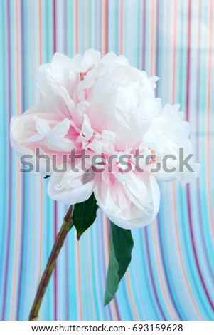 Single pale pink peony flower macro on a pastel colors striped background