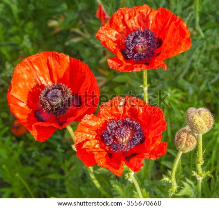 Single Papaver orientale (Oriental poppy) is a perennial flowering plant native to the Caucasus, northeastern Turkey, and northern Iran - stock photo