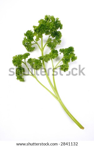 Single parsley sprig isolated on white with work path. - stock photo