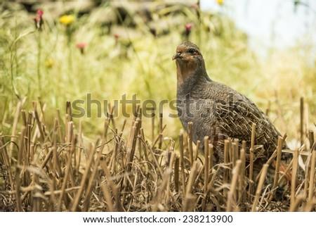 Single partridge in a corn field - stock photo