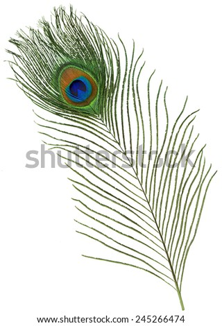 Single Peacock Feather - stock photo