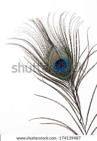 single peacock feather isolated on white background