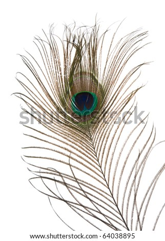single peacock feather isolated on white background;