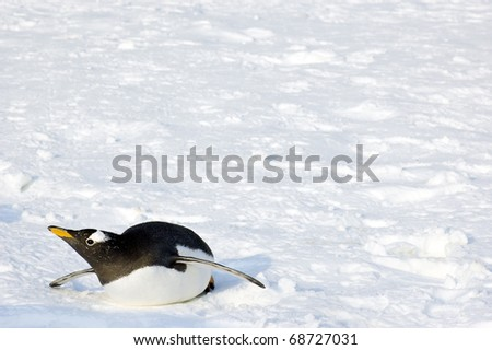 single penguin lays on ground