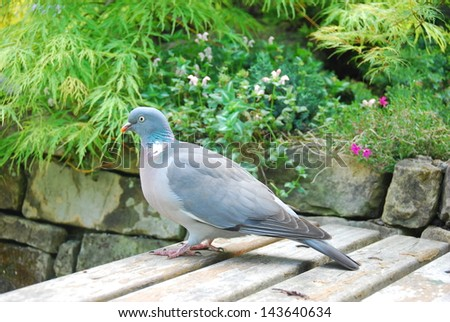 Single pigeon sitting on the table - stock photo