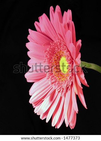 Single pink and yellow gerber daisy stem on a black background.