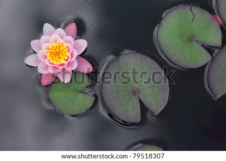 Single pink blooming water lilly in a pond with flat leaves - stock photo