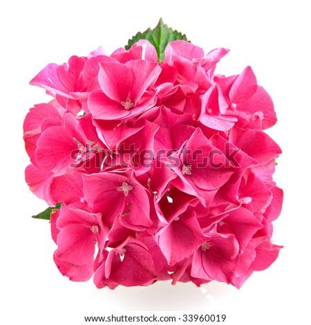 Single Pink hydrangea hortensia isolated on white background - stock photo