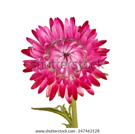 Single pink-purple flower of the strawflower, Xerochrysum bracteatum (formerly Helichrysum bracteatum), isolated against a white background